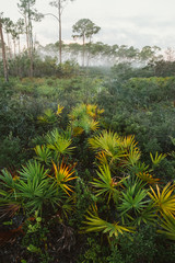 Saw Palmetto Landscape