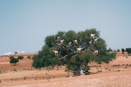 Goats in a tree branch