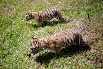 Two bengal tiger cubs, who were rejected by their mother, are pictured at La Pastora Zoo in the municipality of Guadalupe
