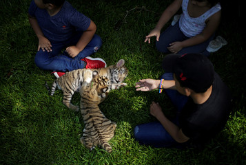 Two bengal tiger cubs, who were rejected by their mother, interact with children at La Pastora Zoo in the municipality of Guadalupe
