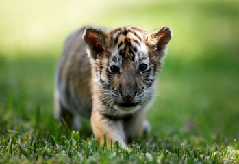 One of two bengal tiger cubs, who were rejected by their mother, is pictured at La Pastora Zoo in the municipality of Guadalupe