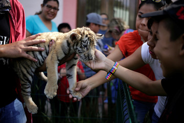 One of two bengal tiger cubs, who were rejected by their mother, is touched by visitors at La Pastora Zoo in the municipality of Guadalupe