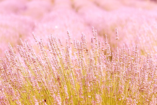 Blooming lavender in a field close-up, in the summer in the sunlight at sunset