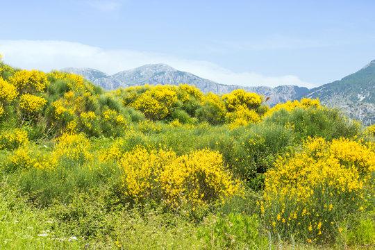wild yellow jasmine bush flowers