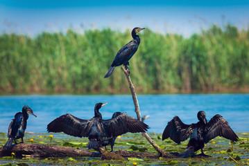 Great cormorant in Danube Delta, Romania