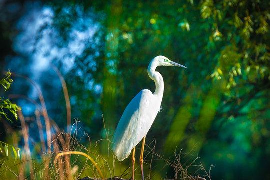 Great egret, Ardea alba in Danube Delta, Romania