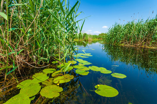 Beautiful water lilly and reed landscape in Danube Delta, Romania