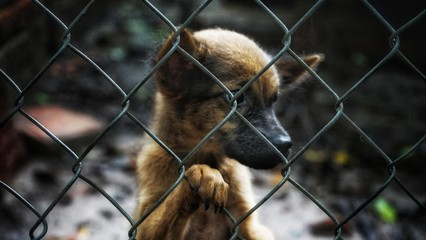 Phu Quoc Ridgeback Breed Dog