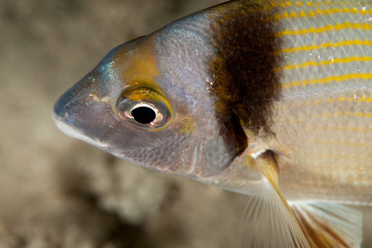 Diplodus vulgaris, the common two banded seabream