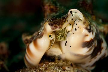 Strombidae sea snails