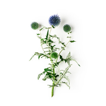 Blue thistle flowers, echinops branch