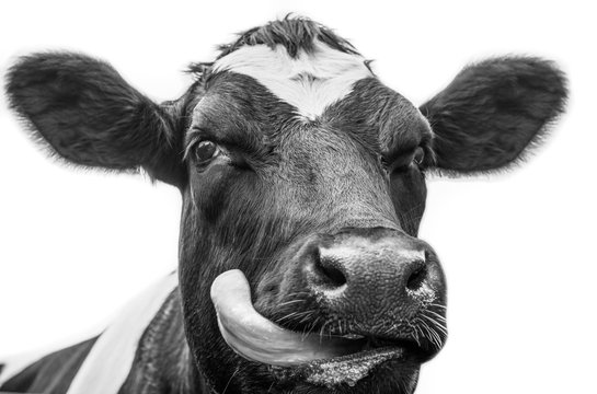 A close up photo of a black and white cow