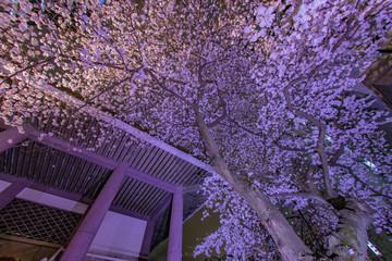 新宿の高層ビル群とライトアップされた桜