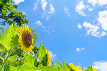 Fotobehang Zonnebloem 夏の青空とひまわりの花