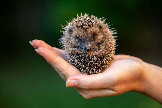 Love nature, little hedgehog staying in a hand