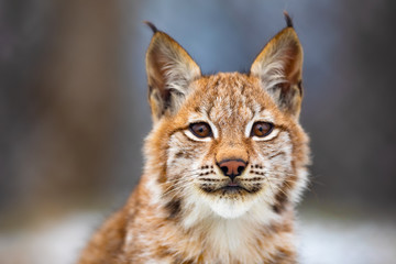 Photo on textile frame Lynx Close-up portrait of beautiful eurasian lynx in the forest