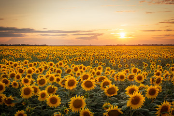 Poster Zonnebloem Beautiful sunset over big golden sunflower field in the countryside