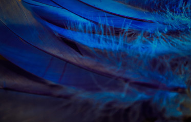Beautiful textures abstract close up color black darkness purple and blue feathers background and wallpaper
