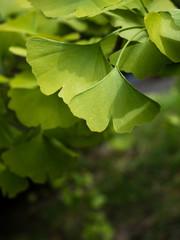Close up shot of green gingko biloba leaves on a branch