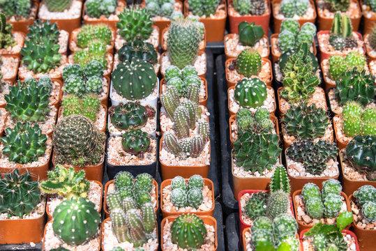 Cactus mini garden in nursery, Cactus succulent plantation
