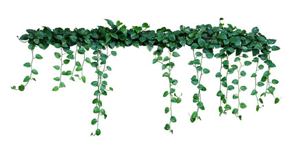 Wall Mural - Plant bush with hanging vines of green variegated heart-shaped leaves Devil's ivy or golden pothos (Epipremnum aureum) the tropical foliage houseplant isolated on white background with clipping path.