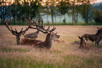 Red deer stack resting in the grass with family at sunset