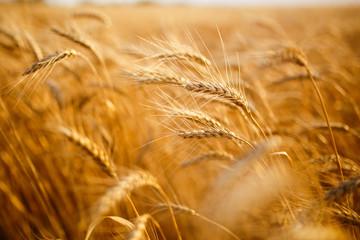 agriculture, barley, agricultural, autumn, background, beautiful, beauty, bread, business, cereal, closeup, concept, corn, countryside, cultivate, ear, ears, empty, environment, fall, farm, farmland,  Fotoväggar