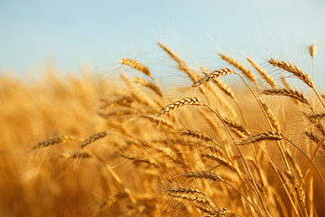 agriculture, barley, agricultural, autumn, background, beautiful, beauty, bread, business, cereal, closeup, concept, corn, countryside, cultivate, ear, ears, empty, environment, fall, farm, farmland,  Fototapete