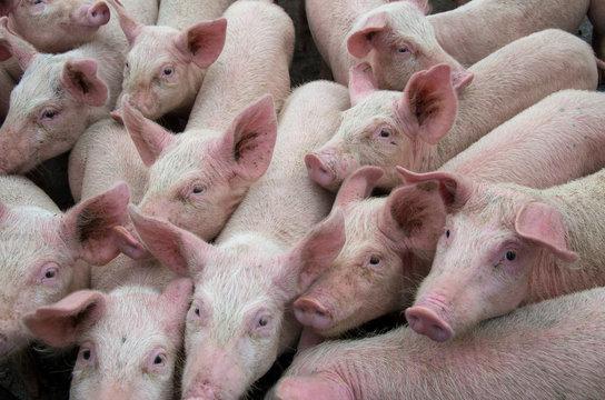 Pigs diseases. African swine fever virus ASFV.