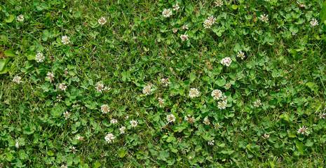 grass clover texture background. top view