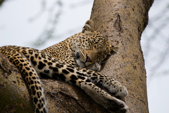 Leopard Sleeping On Her Paw