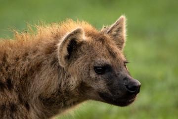 Printed kitchen splashbacks Hyena Hyena Portrait