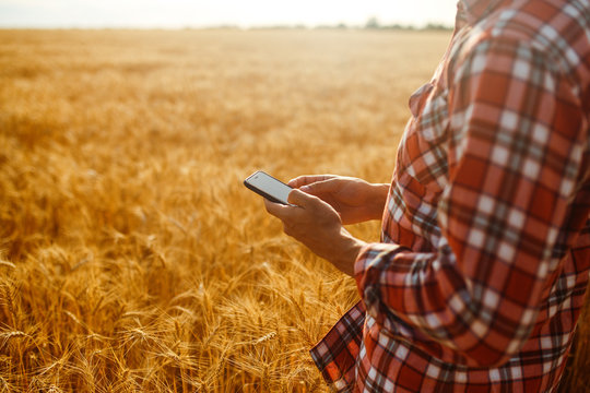 Farmer Checking Wheat Field Progress, Holding Phone and Using Internet .Copy Space Of The Setting Sun Rays On Horizon In Rural Meadow. Close Up Nature Photo Idea Of A Rich Harvest