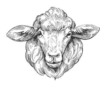 Sketch of sheep. Hand drawn illustration converted to vector