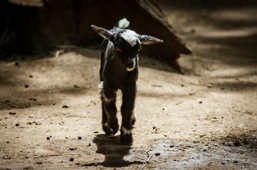 Obraz Small black goat, a dwarf goat. - fototapety do salonu