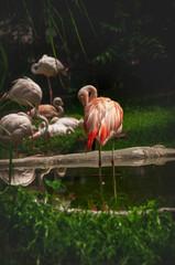 Flamingi, stado ptaków obok sadzawki z wodą.