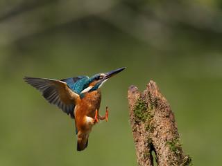 Fotoväggar - Kingfisher, Alcedo atthis, single bird on branch