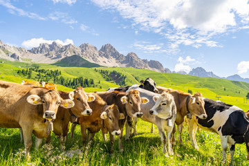 Poster Cow Beautiful landscape with livestock on green pasture