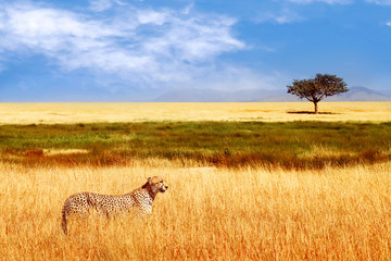 Wall Mural - Cheetah in the African savannah. Africa, Tanzania, Serengeti National Park. Wild life of Africa.