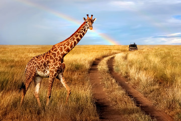 Wall Mural - A lonely beautiful giraffe in the hot African savanna against the blue sky with a rainbow. Serengeti National Park. Tanzania. Wildlife of Africa.