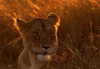 Portrait of a Lioness in the morning light, Masai Mara, Kenya Wall mural