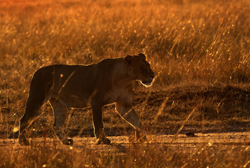 Lioness in the morning light, Masai Mara, Kenya Wall mural