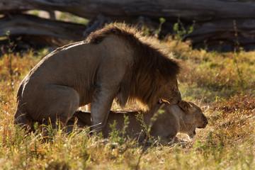 Mating pair at Masai Mara, Kenya Wall mural