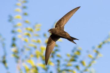 Fototapeta common swift (Apus apus) in flight obraz