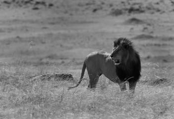 The lion king at Masai Mara, Kenya Wall mural