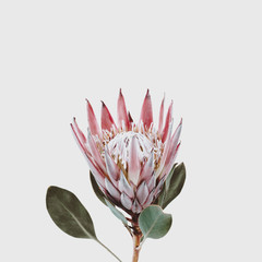 single beautiful pink king protea flower isolated against a light grey background