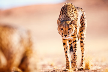 Close up of cheetah