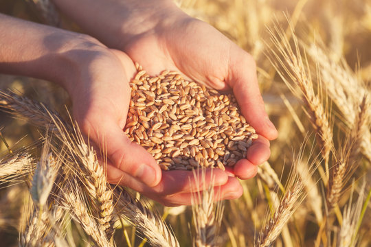 handful of ripe wheat seeds and golden sunny wheat field