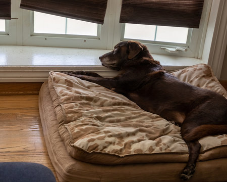Overhead view of chocolate lab senior dog as he relaxes on his orthopedic bed