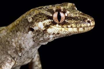Wall Mural - Forest gecko (Mokopirirakau granulatus)